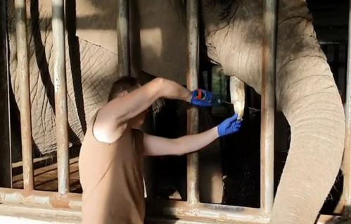 Tak przycina się cios słonia