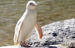 Urodziny pingwina albinosa z gdańskiego zoo