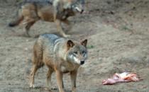 Coraz więcej wilków w okolicach Trójmiasta