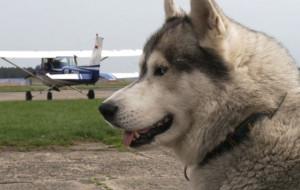 Husky, który uwielbia latać samolotami