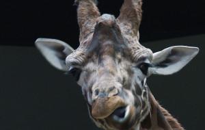 Dyrektor gdańskiego ZOO o żyrafie z Kopenhagi