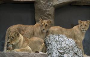 Lew Arco zagryzł młodą lwicę Berghi