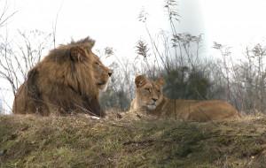 Lwy z oliwskiego ZOO starają się o potomstwo