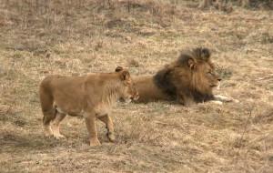 Lwica z ZOO w ciąży, lwiątka w czerwcu
