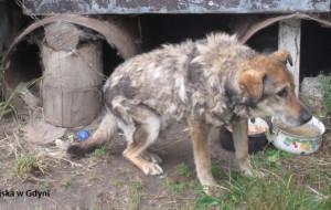 Schorowany pies na metrowym łańcuchu mieszkał w beczce