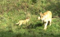 Zaprezentowano lwiątka w ZOO