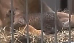 Trzy lwiątka urodziły się w ZOO. Prezentacja w sobotę