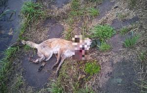 Utopił lisa, a potem poderżnął mu gardło