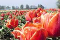 Gdańsk rozdaje cebulki tulipanów i krokusów