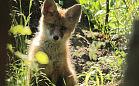 Leśnik kocha las tak samo jak Borsuk