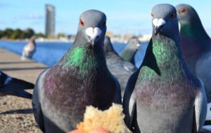 Czy straż miejska powinna karać za dokarmianie gołębi?