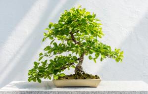 Bonsai - orientalna sztuka, którą kochają bogacze