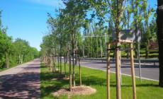 W Gdyni sadzą nowe drzewa przed wycięciem starych