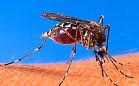 Niespotykana liczba komarów w Trójmieście