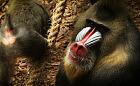 Afrykańskie mandryle w nowym pawilonie w zoo