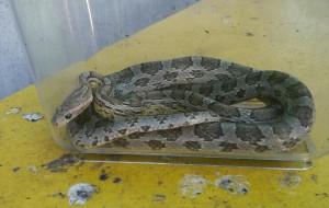 Wąż w śmietniku na Dolnym Mieście