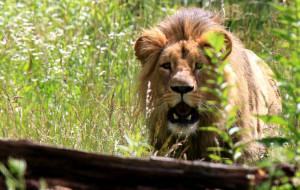 Gdański lew na czele stada w czeskim zoo