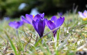 Przyjdź po darmowe kwiaty, upiększ okolicę. 25 tys. cebulek dla mieszkańców