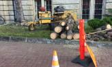 Wycinka zdrowych świerków w centrum Gdańska