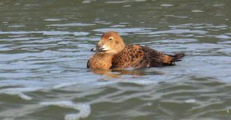 Kaczki z Arktyki pojawiły się w Sopocie