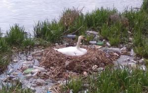 Gniazdo łabędzi pełne jaj i otoczone śmieciami. Tak wygląda opływ Motławy