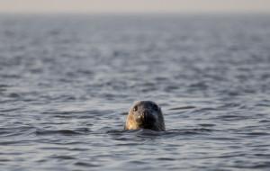Bałtyckie foki wywołują emocje
