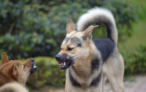 Agresja psów na spacerze - co robić?