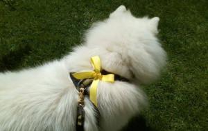 Nie dotykaj, czyli żółta wstążka dla psa