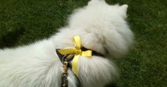 """Żółta wstążka u psa znaczy """"nie dotykaj"""""""
