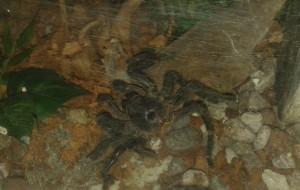 Zabrał do domu terrarium z jadowitym pająkiem
