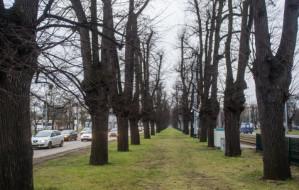 Kolejna wycinka drzew w Wielkiej Alei Lipowej