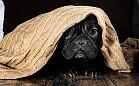 Przed sylwestrem: by pies nie bał się huku petard