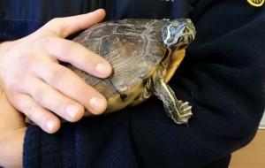 Ktoś wyrzucił żółwia na śmietnik