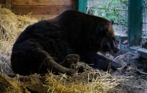 Nowa terapia postawiła niedźwiedzia na nogi