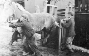 Jak po wojnie leczono konie z UNRRY w Gdańsku