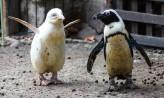 Pingwin albinos w gdańskim zoo. Prawdopodobnie jedyny na świecie