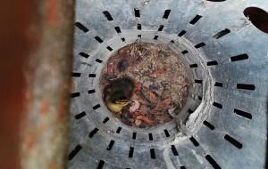 Mała kaczka utknęła w studzience burzowej
