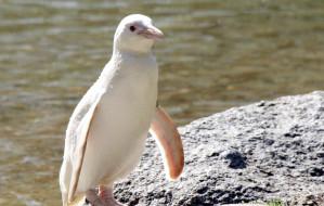 Wybrano imię dla pingwina albinosa z gdańskiego zoo