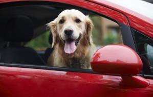 Podróż autem z psem: na co trzeba uważać?