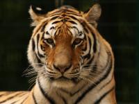 Mieszkańcy gdańskiego zoo. Cotygodniowe spotkania z lwami i tygrysami