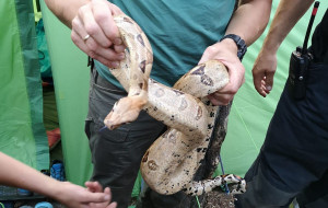 Turystka znalazła w namiocie dwa węże boa