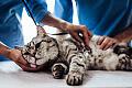Kocie porady: czy sterylizować/kastrować kotkę?