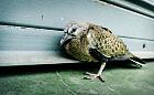 Co zrobić z rannym ptakiem?