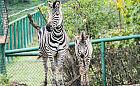 Żyrafa, zebra i kangury. Nowe zwierzęta w gdańskim zoo