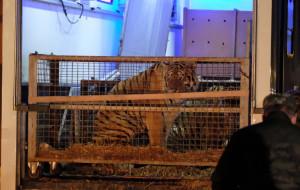 Specjaliści z gdańskiego zoo pomogą zaniedbanym tygrysom