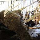 Strażacy pomogli wstać czterotonowej słonicy