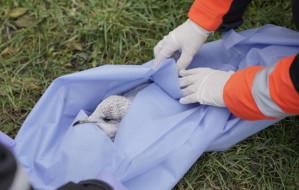 Ratownicy medyczni pomogli rannej mewie
