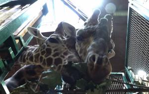 Co robią żyrafy zimą w zoo?