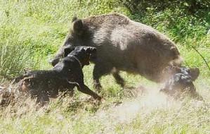 Kolejna sarna zagryziona przez psa. Kara: 3 tys. zł