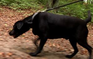 Dogtrekking, czyli mistrzostwa w spacerach z psem
